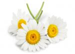 Daisies-e1483642182581-150x108